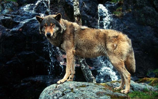 Caccia ai lupi in Svizzera